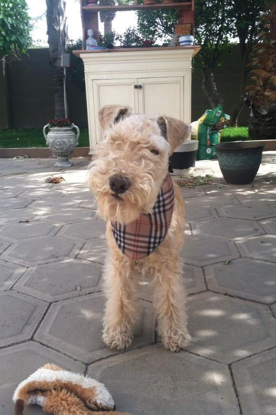 Lakeland Terrier   Dog Breed Info: Pictures, Traits & Facts