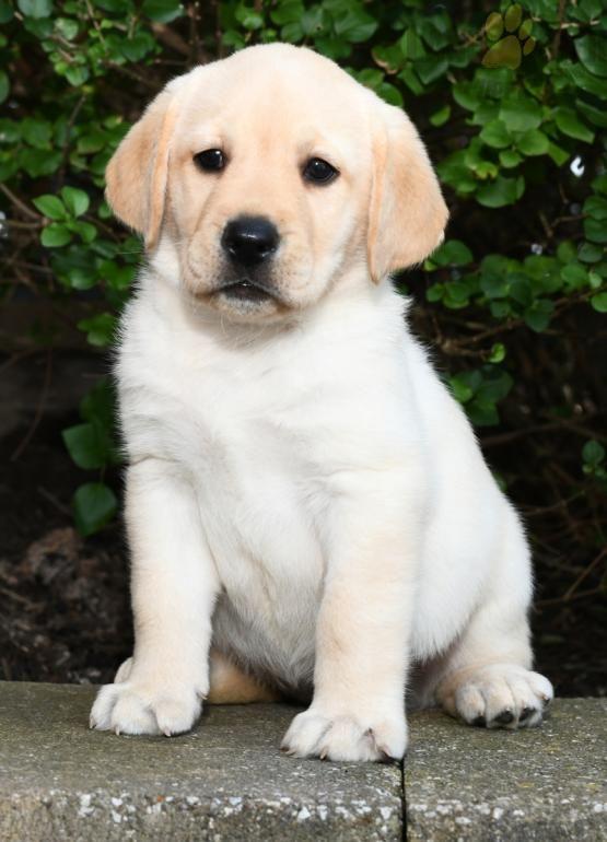 Pin By Md Adnan Shiragee On Labrador Retriever Puppies Cute Lab Puppies Labrador Retriever Puppies Retriever Puppy