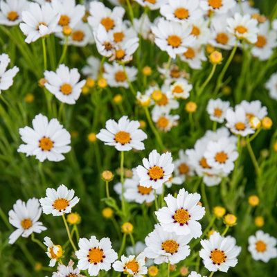 Sweet as can be: Cheery Coreopsis 'Star Cluster'