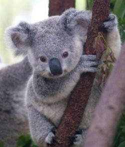 <3 baby koala. THis is why they are my fav animal!