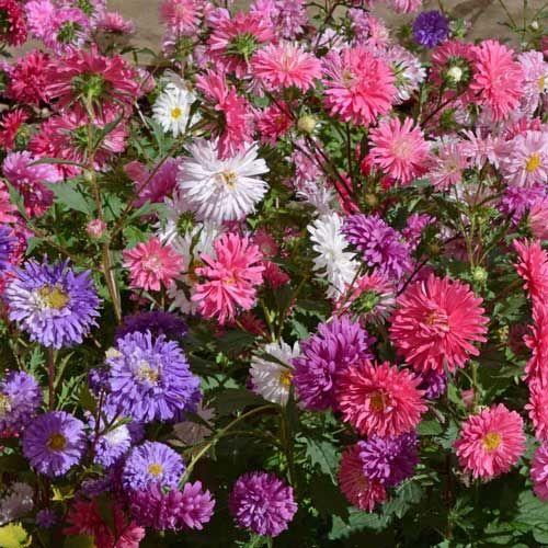 Aster Flowers For Rickey26 30 Pieces Flower Desktop Wallpaper Buy Flowers Online Aster Flower