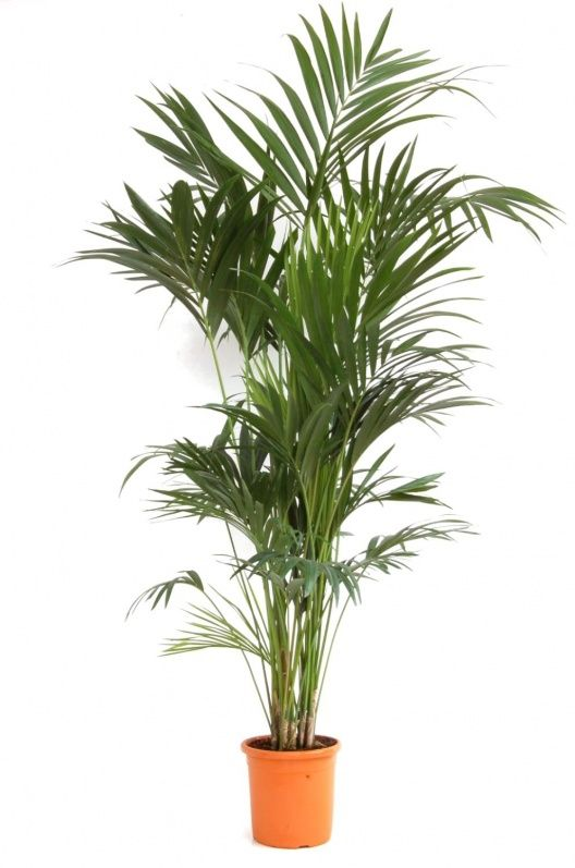 Plante exotique int rieur kentia howea forsteriana - Pot mural pour plante interieur ...