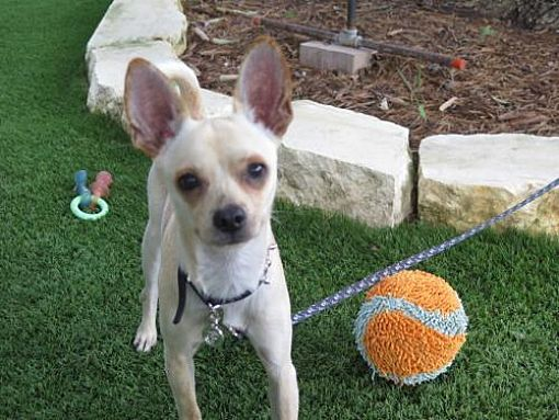 San Antonio Tx Puppy Chihuahua Meet Douglas A Dog For