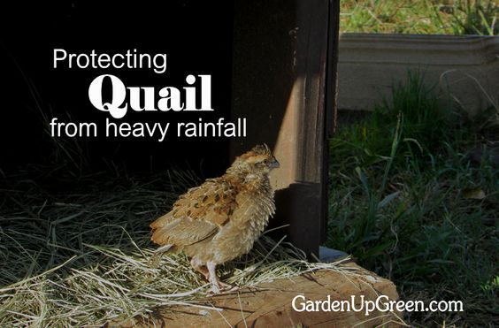 quails backyards and tips on pinterest