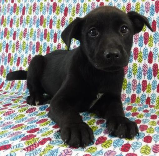 Morton Grove Il Labrador Retriever Meet Indy A Pet For Adoption With Images Pet Adoption Labrador Retriever Pets