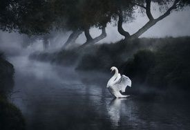 A lone mute swan stretches its wings in Richmond Park.