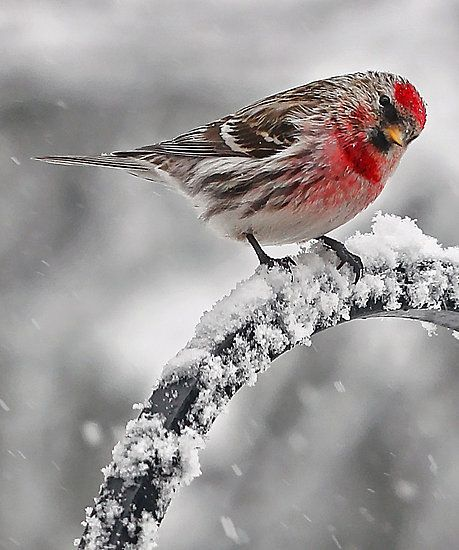 beautiful bird winter ndash - photo #41