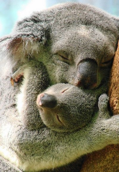 """Gotta love Koala Bears."" Don't tell the koalas, but they aren't bears. They would probably never be awake long enough to listen. S"