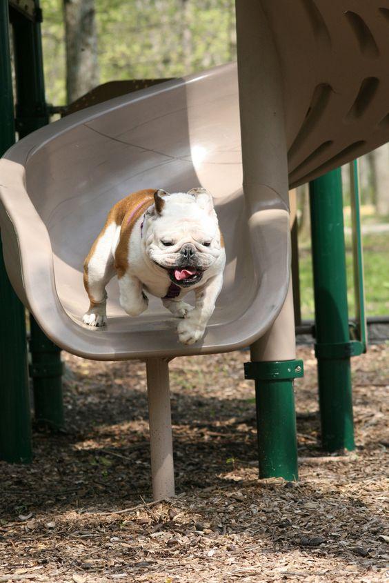 """""""Weeeeeeeee!"""" / english bulldog on a slide"""