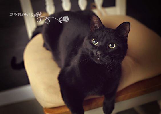 Sebastian. Sunflower Photos. Pet photography. #sunflowerphotos #petphotography #blackcat