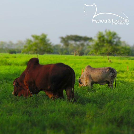 Animales hermosos #BrahmanRojo #Montería #Ganadería #Colombia #Pasion @asocebu @fedegan #HaciendasFranciaYLusitania
