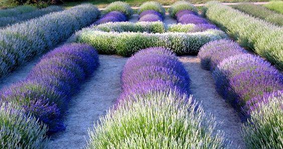 lavender garden: