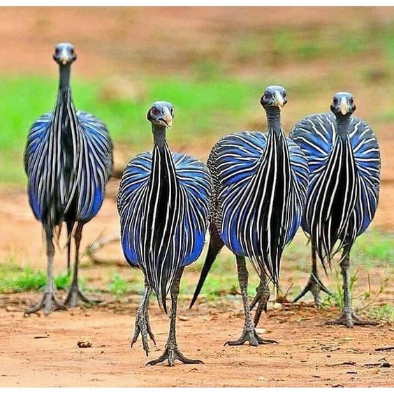 "Birdfreaks | Birdsplace on Instagram: ""Vulturine Guinea fowl . Follow @birdselite @birdselite @birdselite ====================================== 📸👉 ©️ Photo by ©…"""