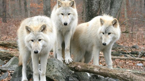 Three of the pack