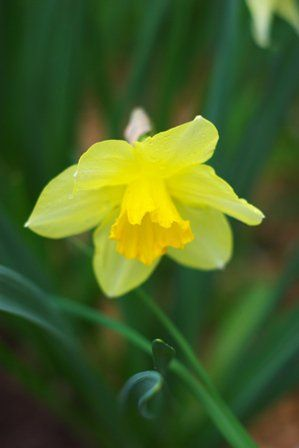 A single daffodil