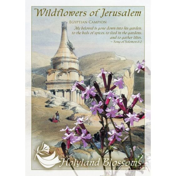 http://www.holylandblossoms.com/the_egyptian_champion#.UWssF7VJOAg #EgyptianCampion #WildflowersofJerusalem #HolylandBlossoms