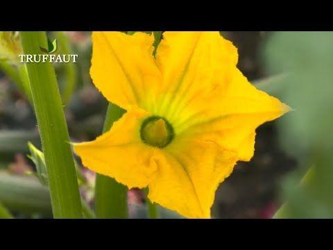 Comment Polliniser Des Fleurs De Courgette Jardinerie Truffaut