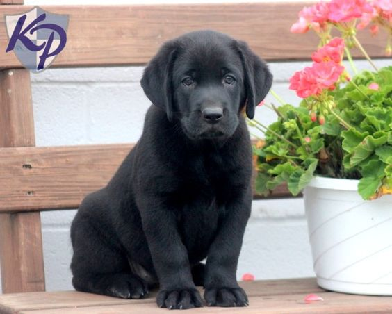 Daisy – Labrador Retriever – Black Puppy www.keystonepuppies.com  #keystonepuppies  #blacklab