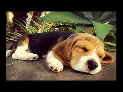 Funny And Cute Beagle Puppies Compilation 3 Cutest Beagle Puppy