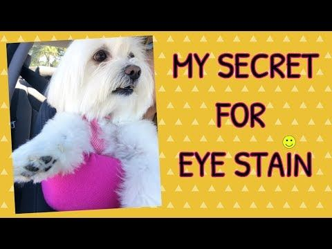 How To Clean Eye Stains White Dogs Coton De Tulear I Lorentix