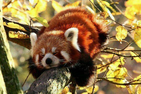 レッサーパンダ木の枝に寝る姿