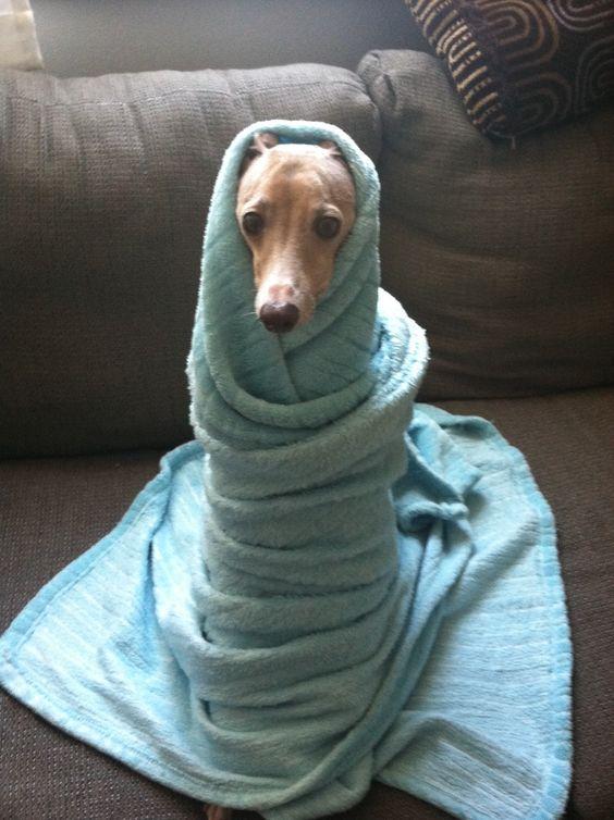 My sweet Italian greyhound baby.