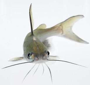 Bullhead catfish catfish pet fish and types of fish for Different types of pet fish