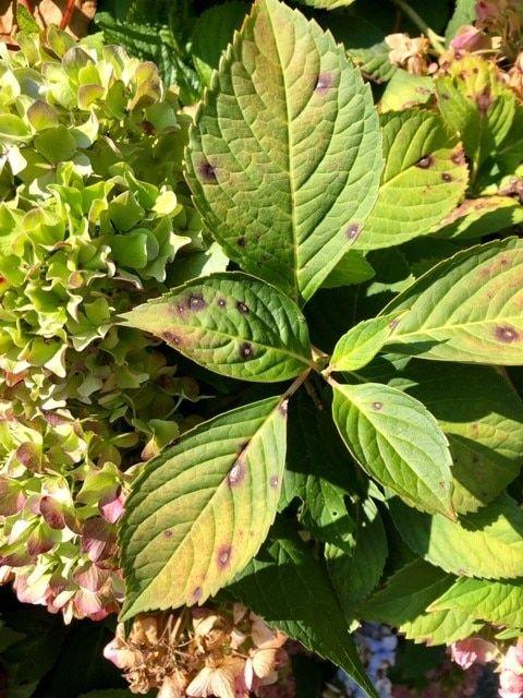 Anthracnose Brown Spots On Hydrangea Leaves 1 Jpg In 2020