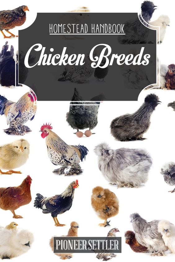 chicken breeds chapter 1 raising backyard chickens for meat and