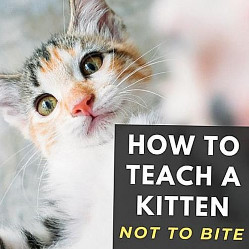 How To Get Kitten To Stop Biting In 2020 Kitten Biting Kitten Care Cat Parenting