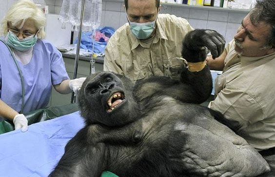 Veterinary surgeons prepare Budapest Zoo's oldest gorilla, Liesel, for an operation to remove a tumor