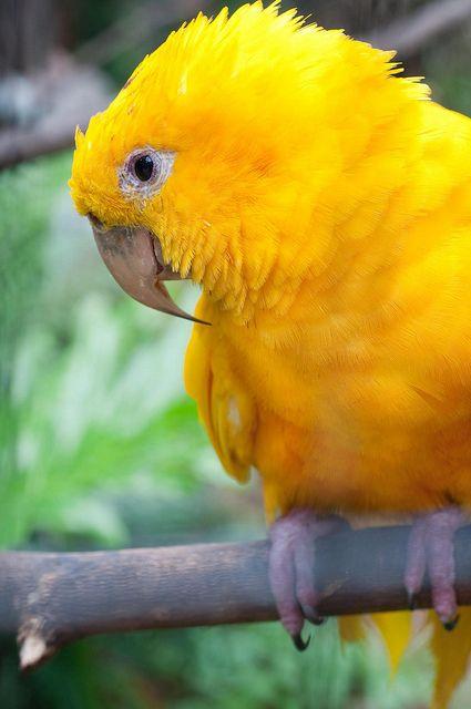 photo by Vismar Ravagnani. Ararajuba em Foz do Iguaçu (Parque das Aves)