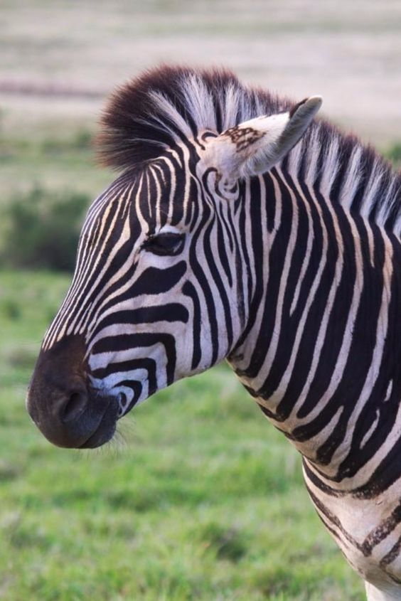 Zebra at Addo Elephant National Park - South Africa - Non Stop Destination