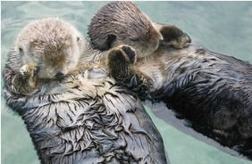 Sea otters holding hands to keep from drifting apart