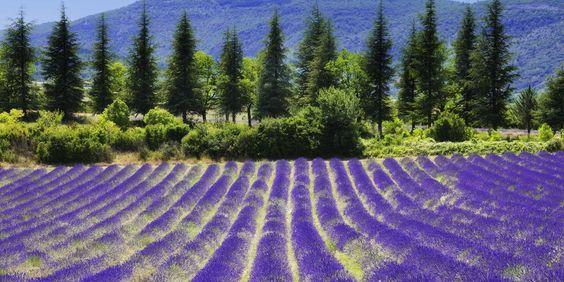 Campos de lavanda. Provence, France