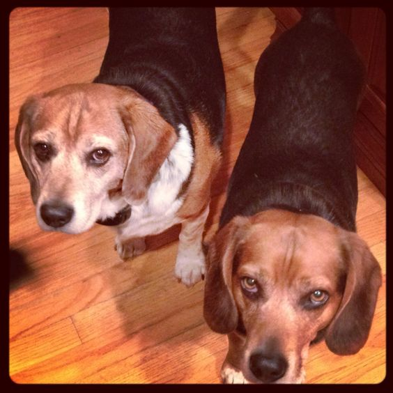 My Maggie give us this same Beagle look!!