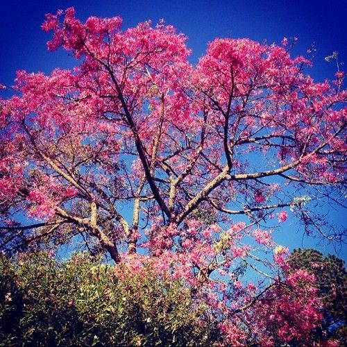 How's that for a dash of fall color? Ceiba speciosa, or the silk floss tree. The Ruth Bancroft Garden / Walnut Creek, CA