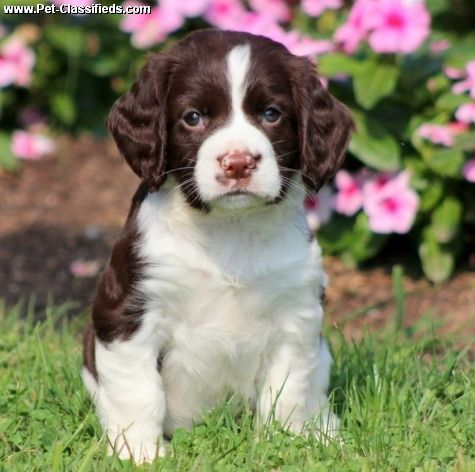 Pet Classifieds English Springer Spaniel Puppies Available Springer Spaniel Puppies Spaniel Puppies Springer Spaniel