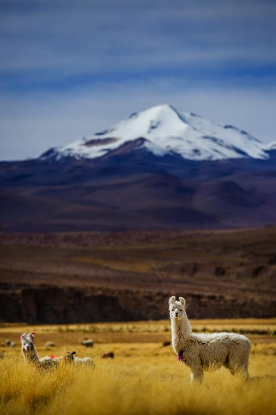 Did you know llamas and quinoa go hand in hand? Llama manure is the preferred natural fertilizer for quinoa which helps maximize it's nutritional value and yield!