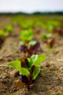 Planting Fall And Winter Vegetables Good For Nutrition 640 x 480