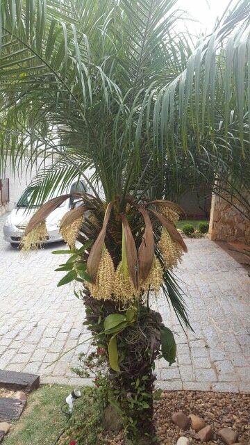 Palmeira Real florida...