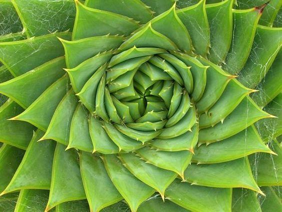 Espiral de Alóe