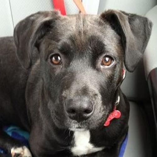 Georgia is an adoptable Black Labrador Retriever, Pit Bull ...