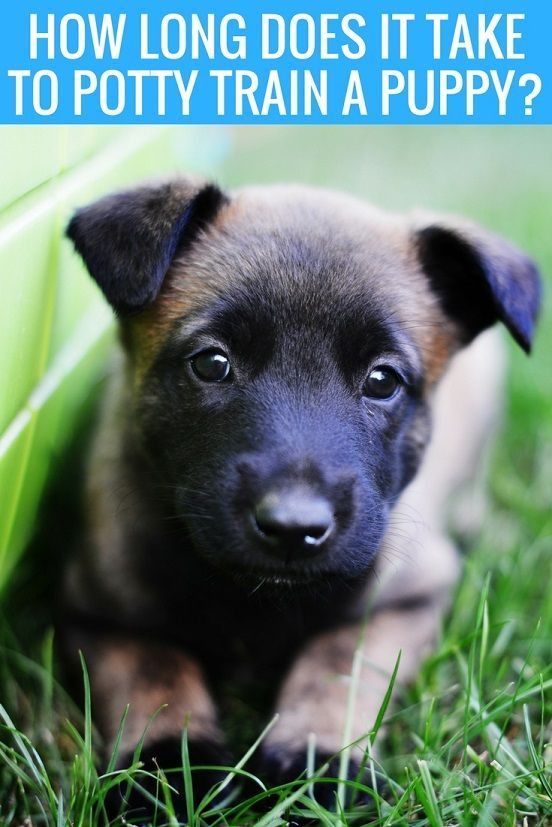 How Long Does It Take To Potty Train A Puppy Puppy Training Potty Training Puppy Dog Training Obedience