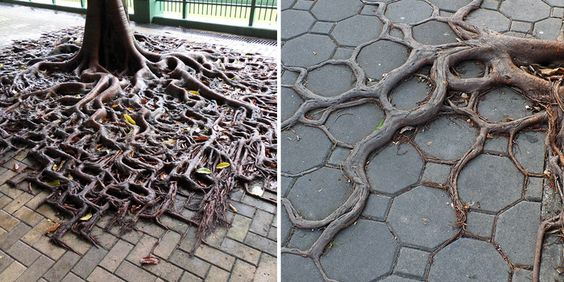 10 Tree Roots Winning Their Battle Against Concrete | Bored Panda