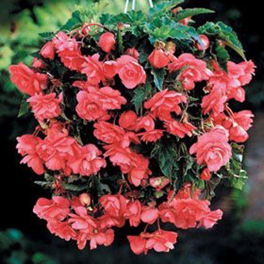 Fiori Bianchi Ricadenti.Begonia Pendula Gigante A Fiori Ricadenti Rosa Ingegnoli