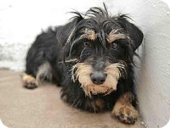 Phoenix Az Miniature Schnauzer Mix Meet Donatello A Dog For Adoption Http Www Adoptapet