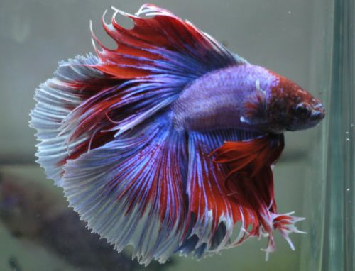 Live tropical fish doubletail halfmoon betta i9 big fins for Big betta fish