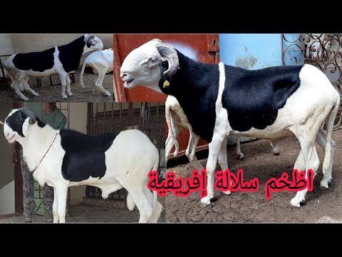 استعراض اظخم سلالة اغنام في افريقيا الادوم السنغالية Ladoum Gros Mouton De Senegal Youtube Cow Animals