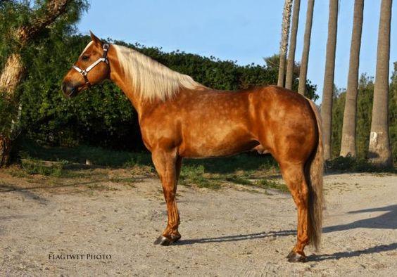 Olenas King Texas - Palomino  Quarter Horse Stallion in Riverside, California 92509